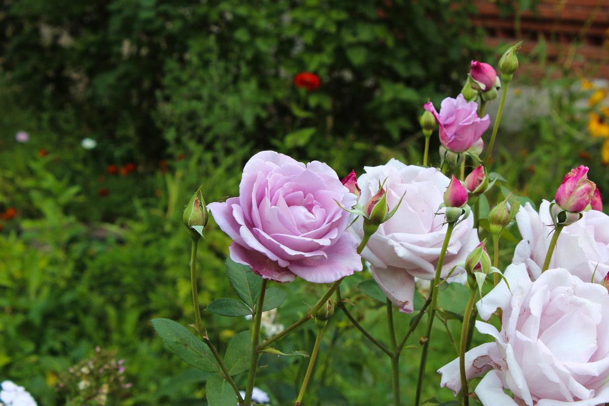 Розовые розы - Вячеслав & Алёна Макаренины