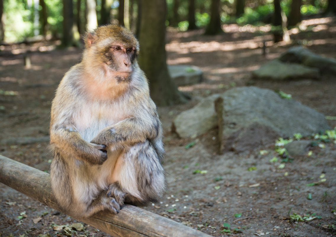 Affenberg Salem, где много диких обезьян - Viktor Schwindt
