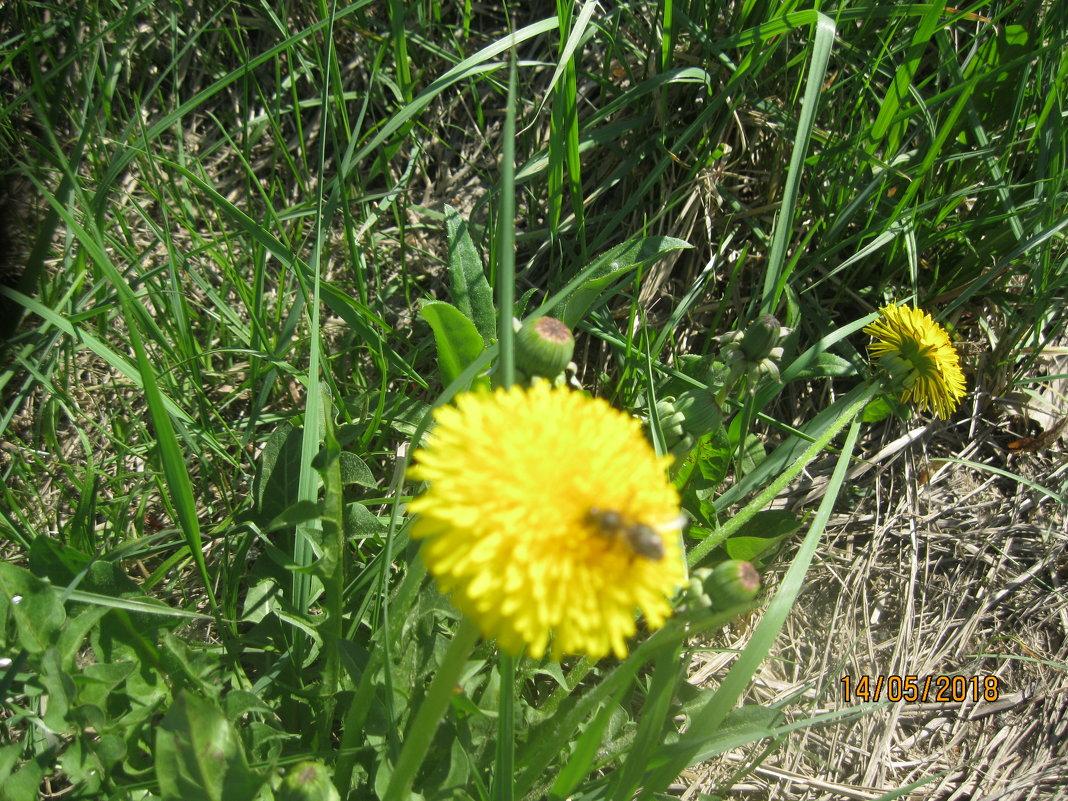 Одуванчик и пчела - Smit Maikl