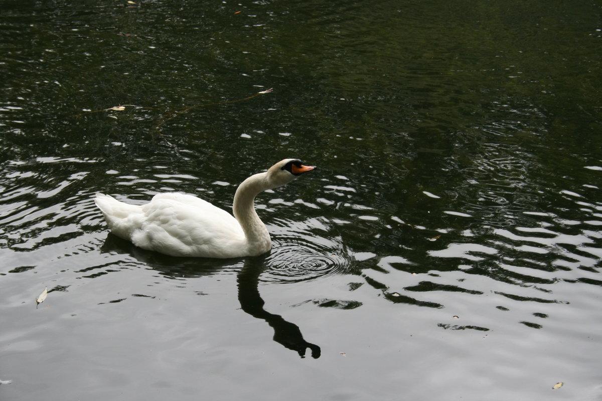 лебедь - Димончик