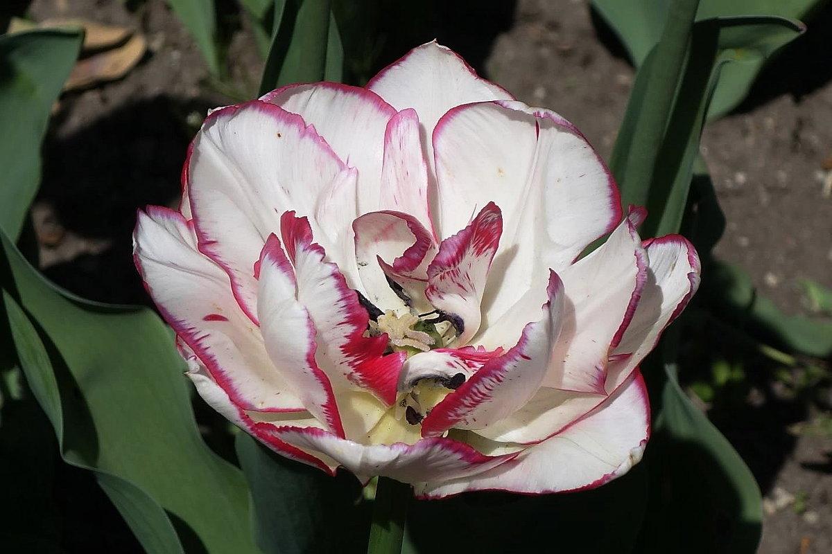 Цветок тюльпана - Маргарита Батырева