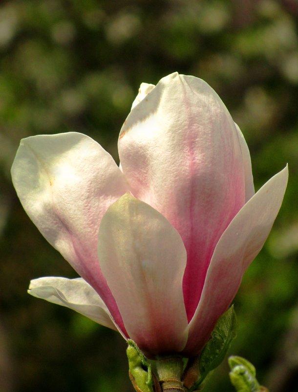 Цветок магнолии - Сергей Карачин