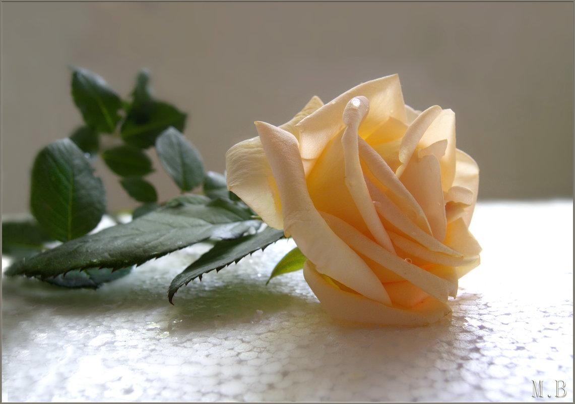 О! влага живительна, чайная роза... - Людмила Богданова (Скачко)