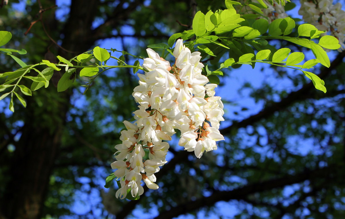 Душистой   акации   белые    гроздья... - Валентина ツ ღ✿ღ