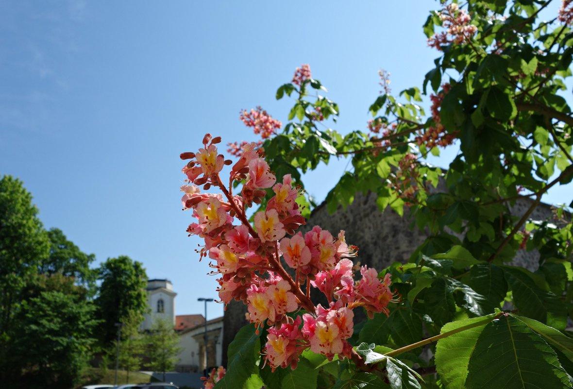 """Каштан цветет..."""" Кисть цветов - словно свеча..."""" - Galina Dzubina"""