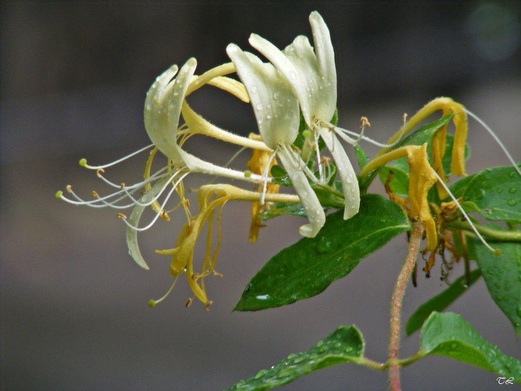 Цветок жимолости - Татьяна Ларионова