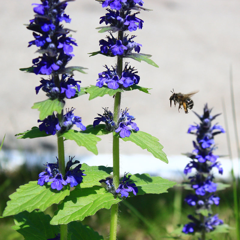 пчела IMG_6192 - Олег Петрушин