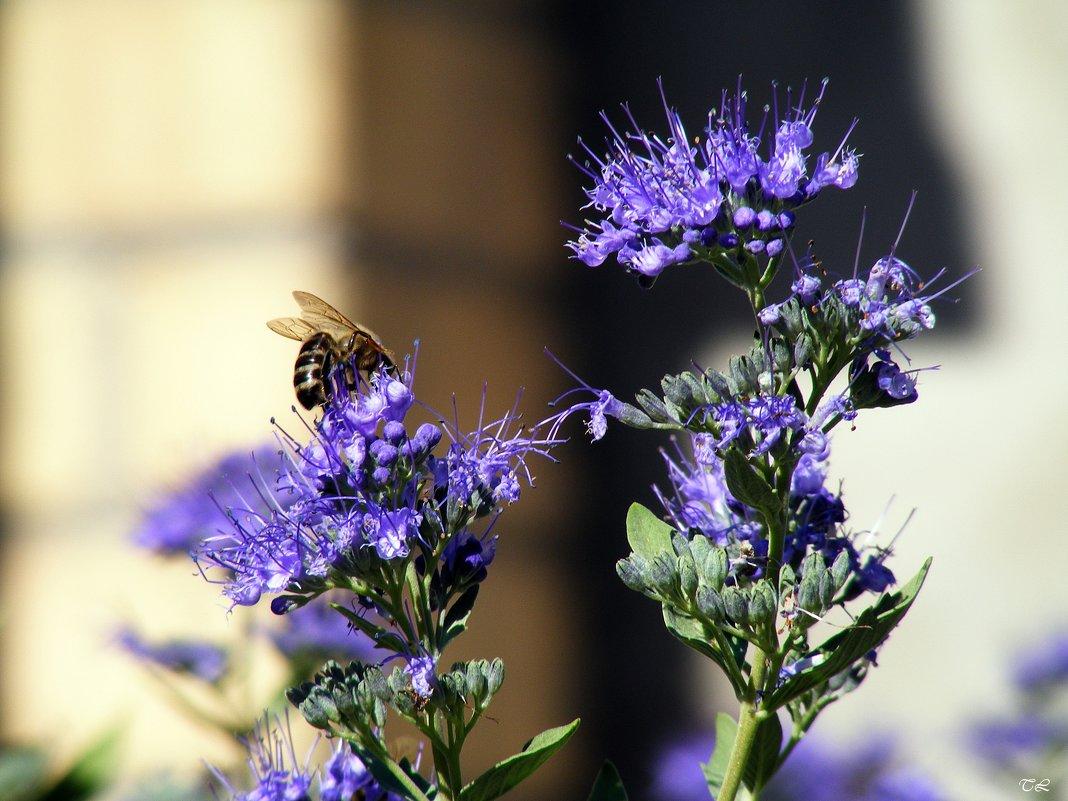 Кариоптерс с пчелкой - Татьяна Ларионова