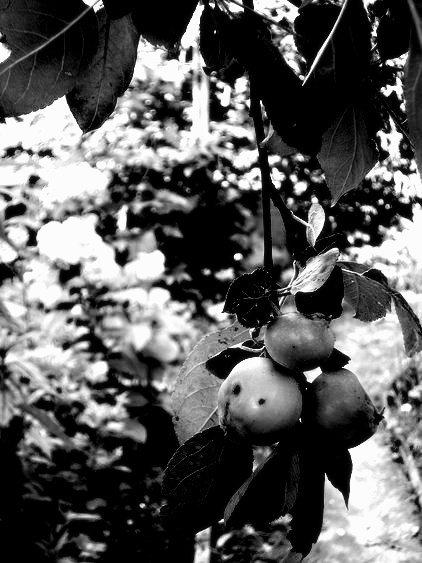 Яблоки - Marina Bernackaya Бернацкая