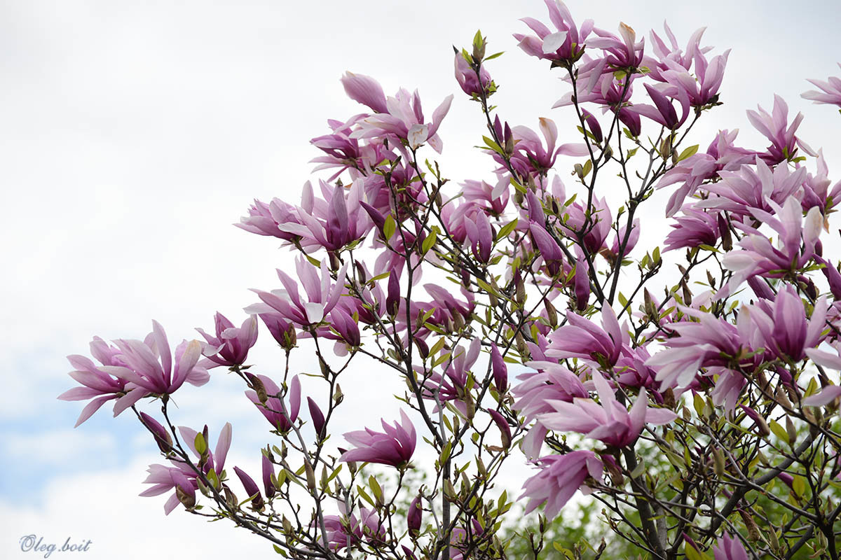 Цветёт магнолия прекрасная - Тамара Бедай