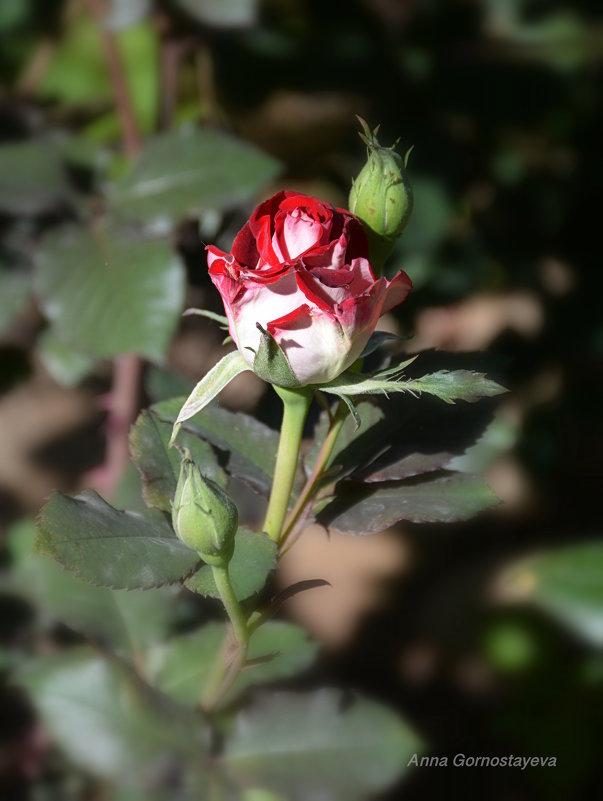 Майская роза. - Anna Gornostayeva