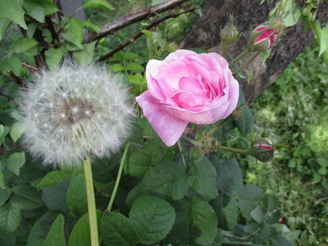 "Брачная пара: одуванчик и роза""!!!... - Алекс Аро Аро"