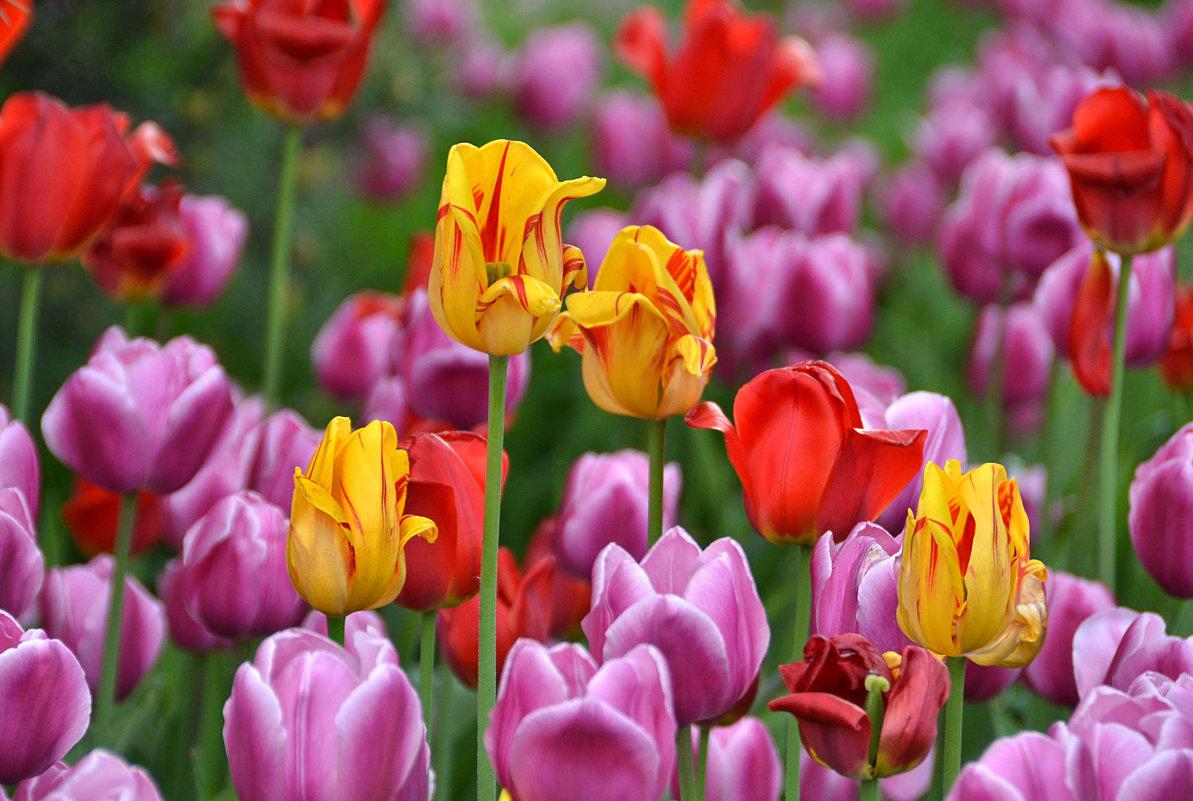 Майские тюльпаны - НАТАЛИ natali-t8