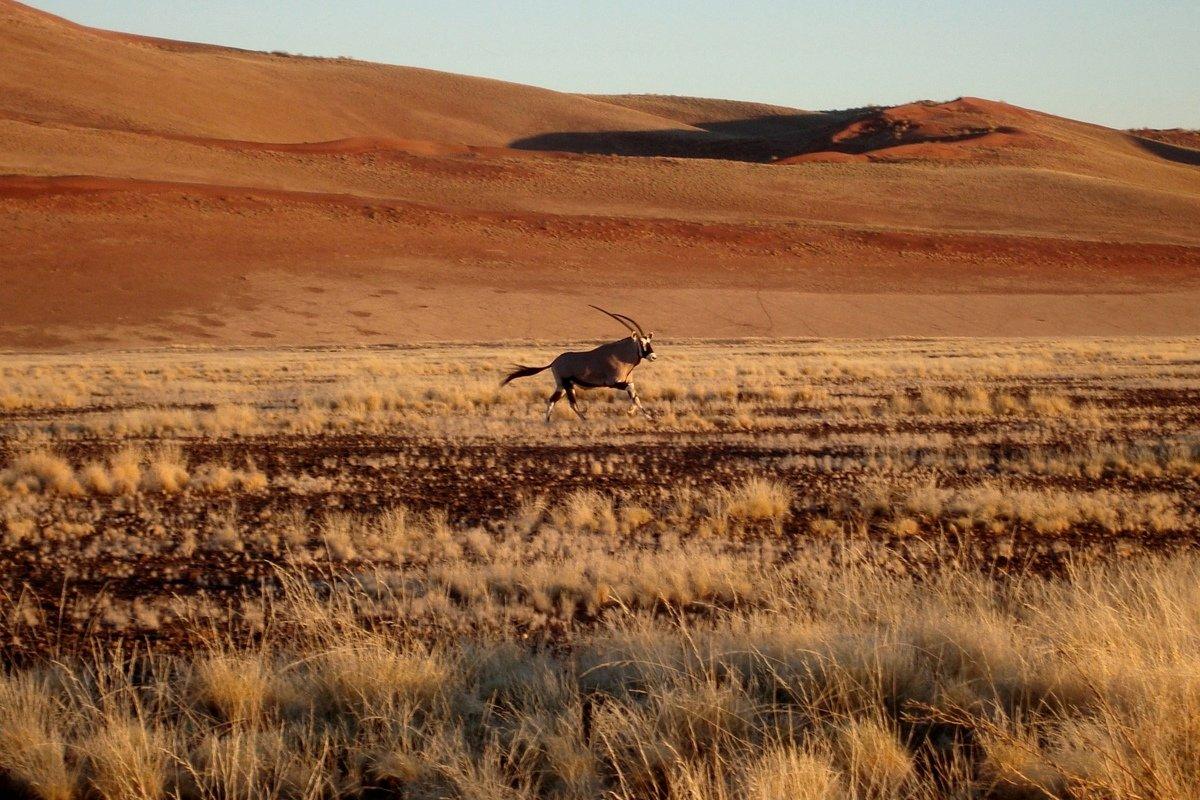 Одинокий орикс пустыни Намиб - Tatiana Belyatskaya