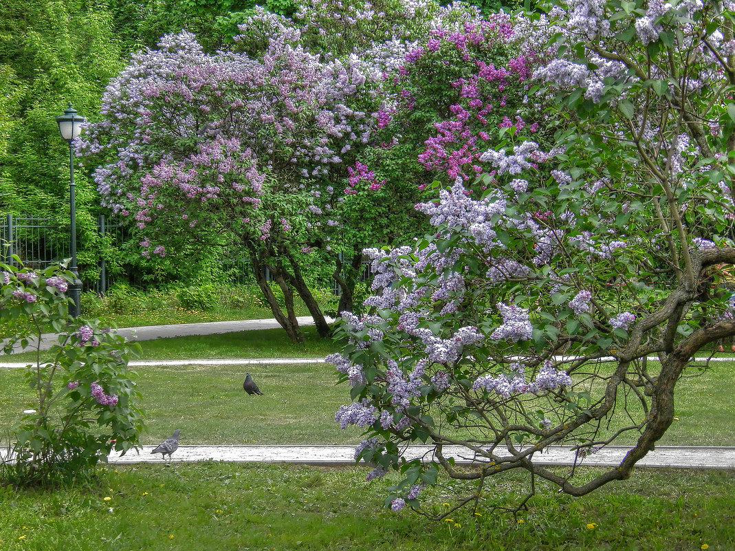 Сиреневый сад в Москве - Евгения Photolife