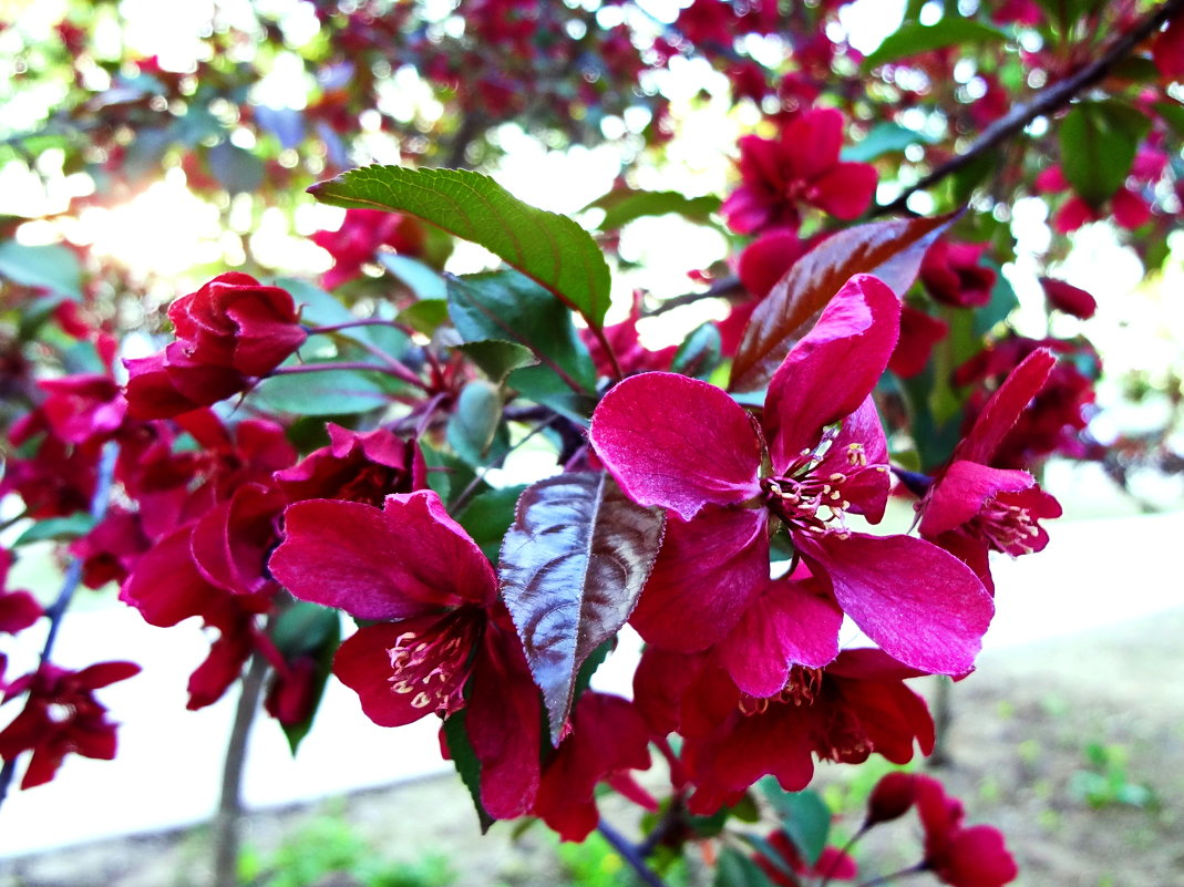 Яблоня цветет. - Ирина