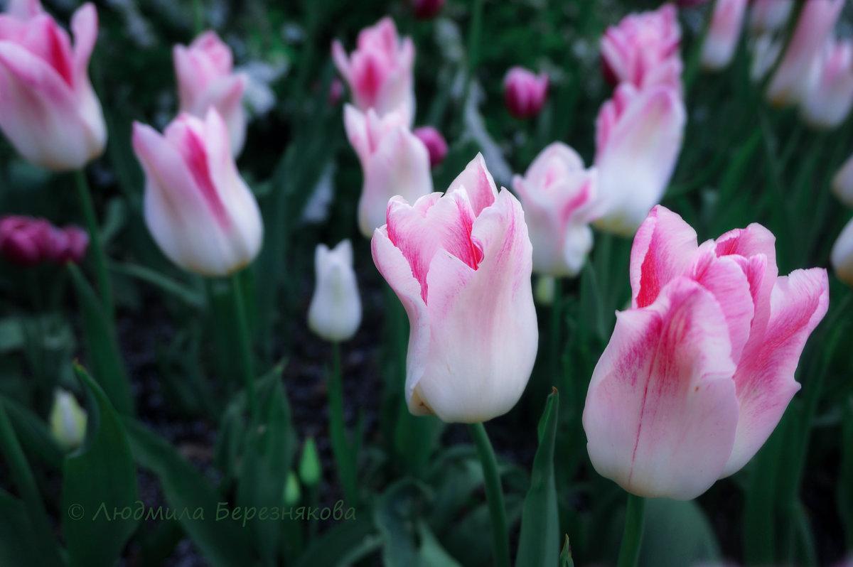 Царство тюльпанов - Людмила