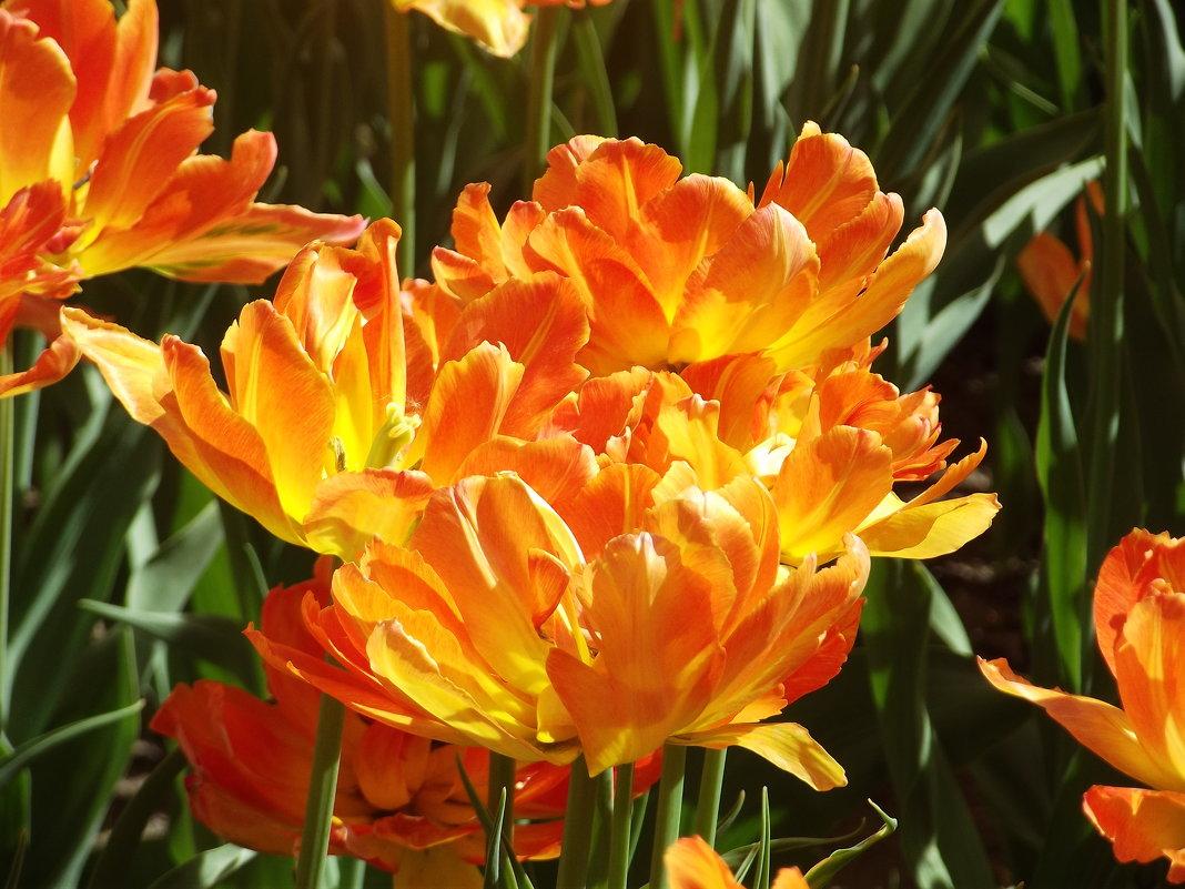 Фестиваль тюльпанов - Вероника