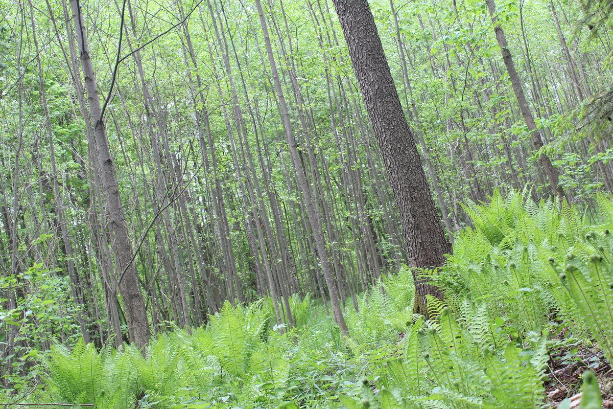 лес и папоротник - Светлана Рябова