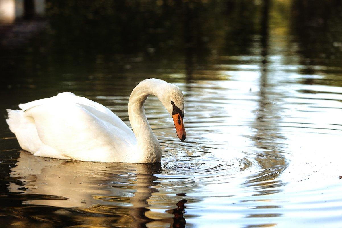 Лебяжье озеро - Ruslan --