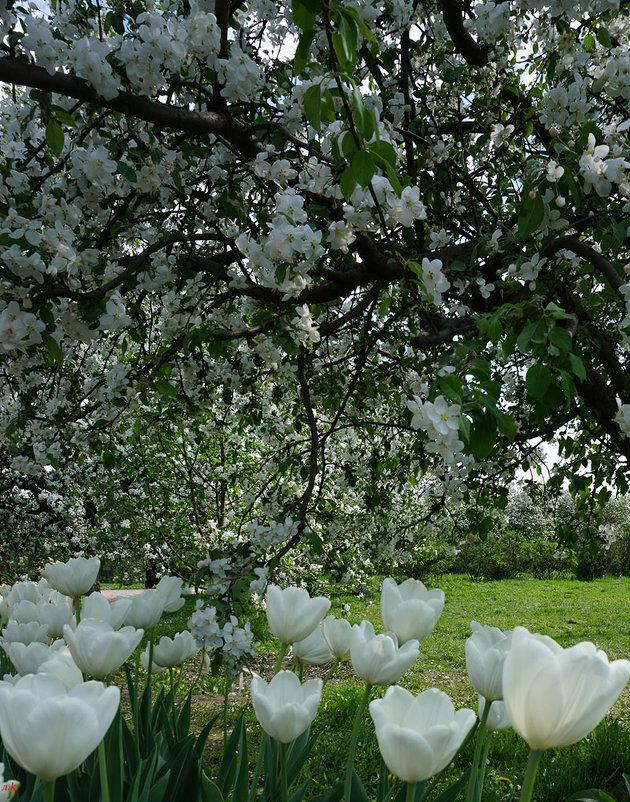 Белое цветение ... - Лариса Корженевская