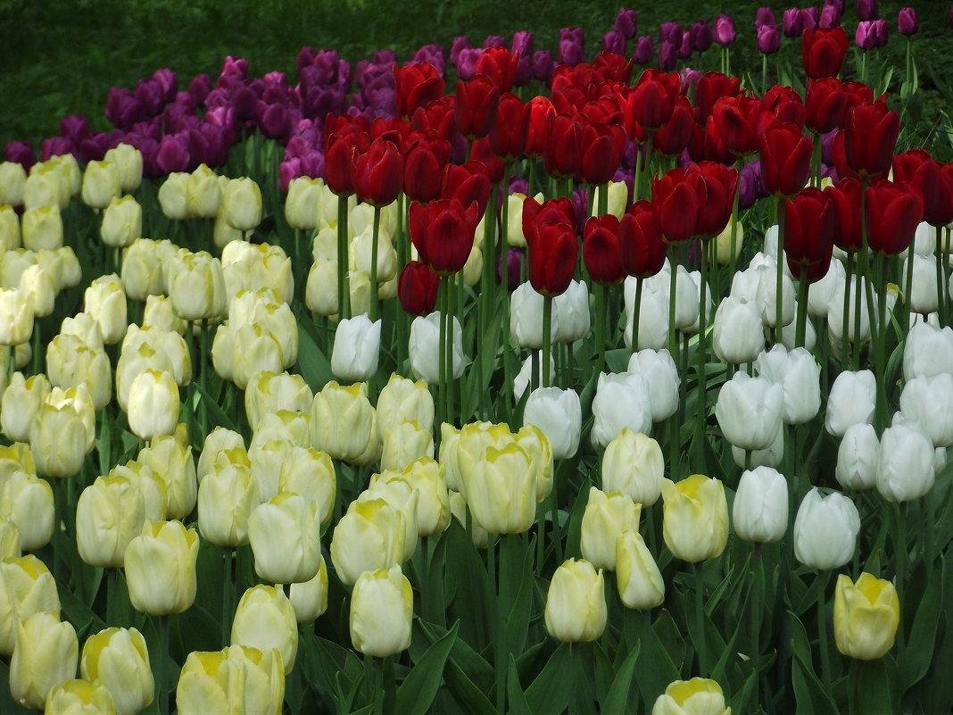 Тюльпаны полюбились мне давно - Вероника
