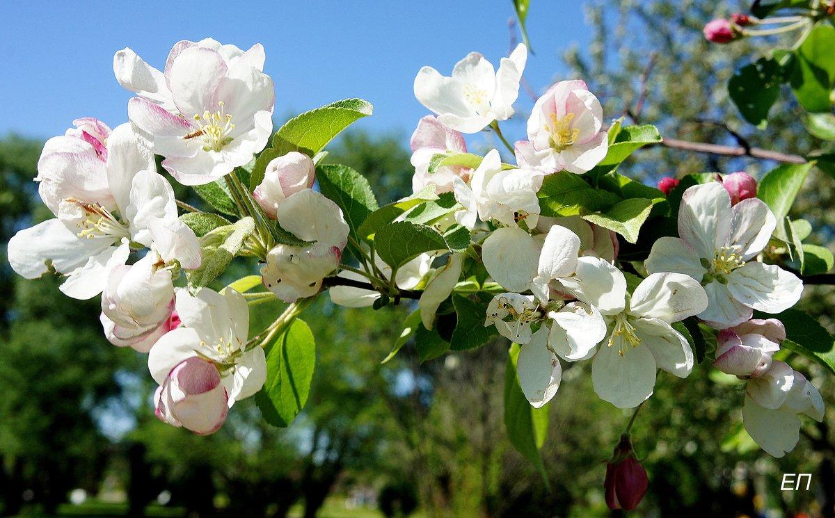 Май в Яблоневом саду - Елена Павлова (Смолова)