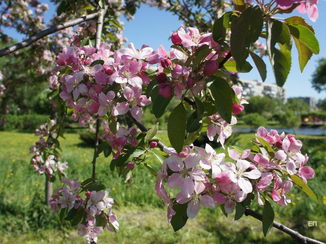В Яблоневом саду - Елена Павлова (Смолова)