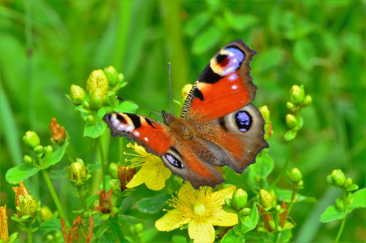 Бабочка павлиний глаз - Константин Анисимов