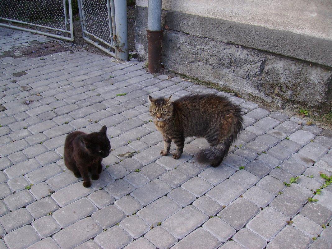 Ивано - Франковские   коты - Андрей  Васильевич Коляскин