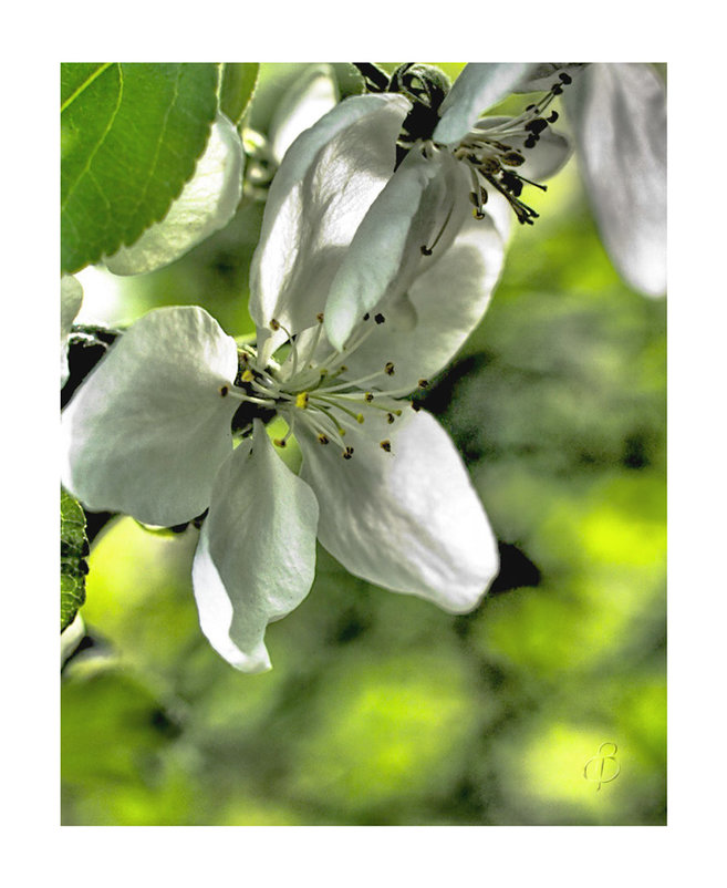Цветок яблони - Виталий
