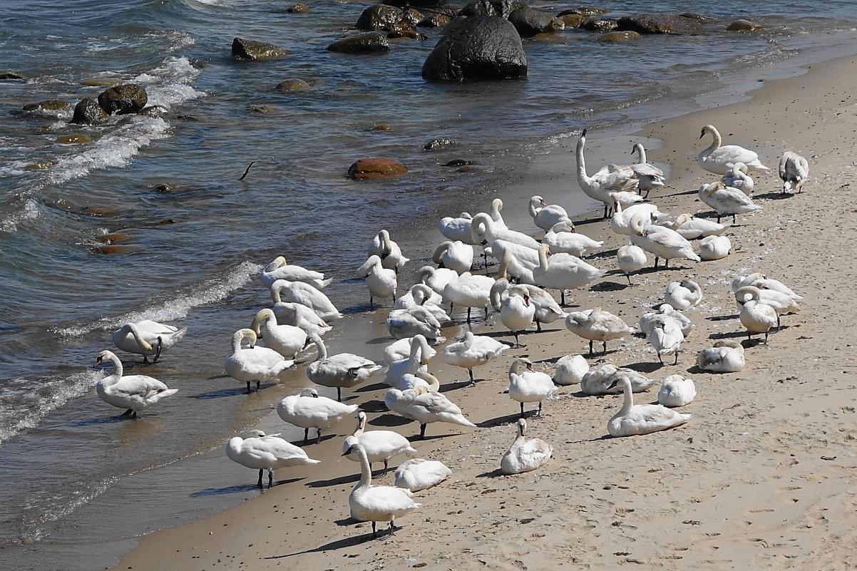 Лебеди на море - чистят пёрышки - Маргарита Батырева
