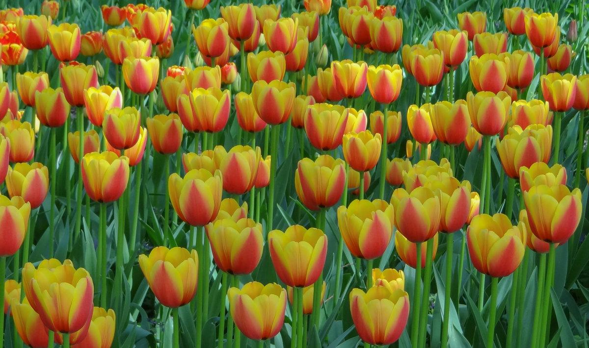 Фестиваль тюльпанов - Ольга