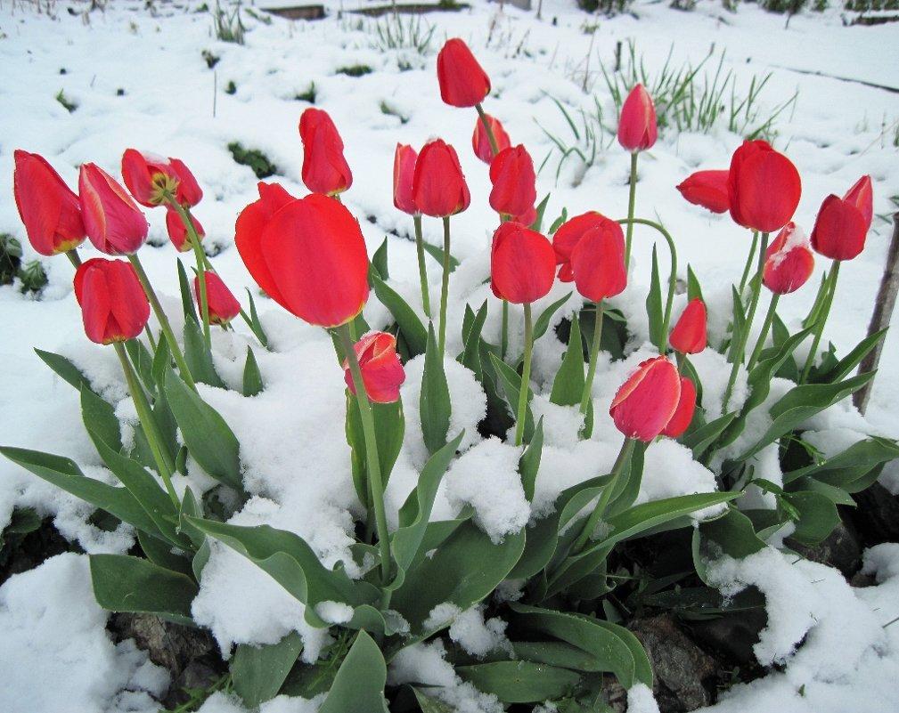 Тюльпаны в снегу. - Людмила Грибоедова