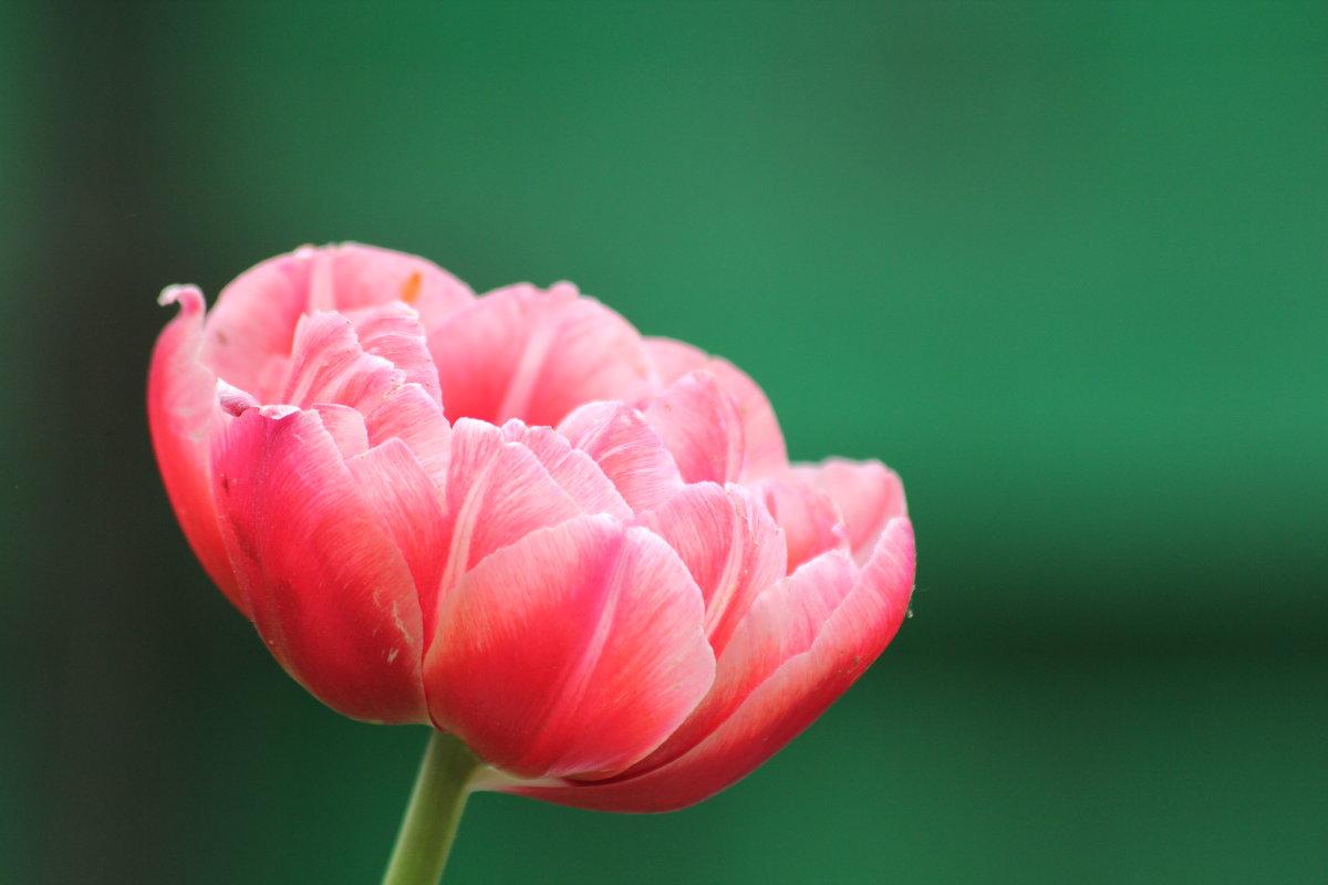 тюльпан - Александра