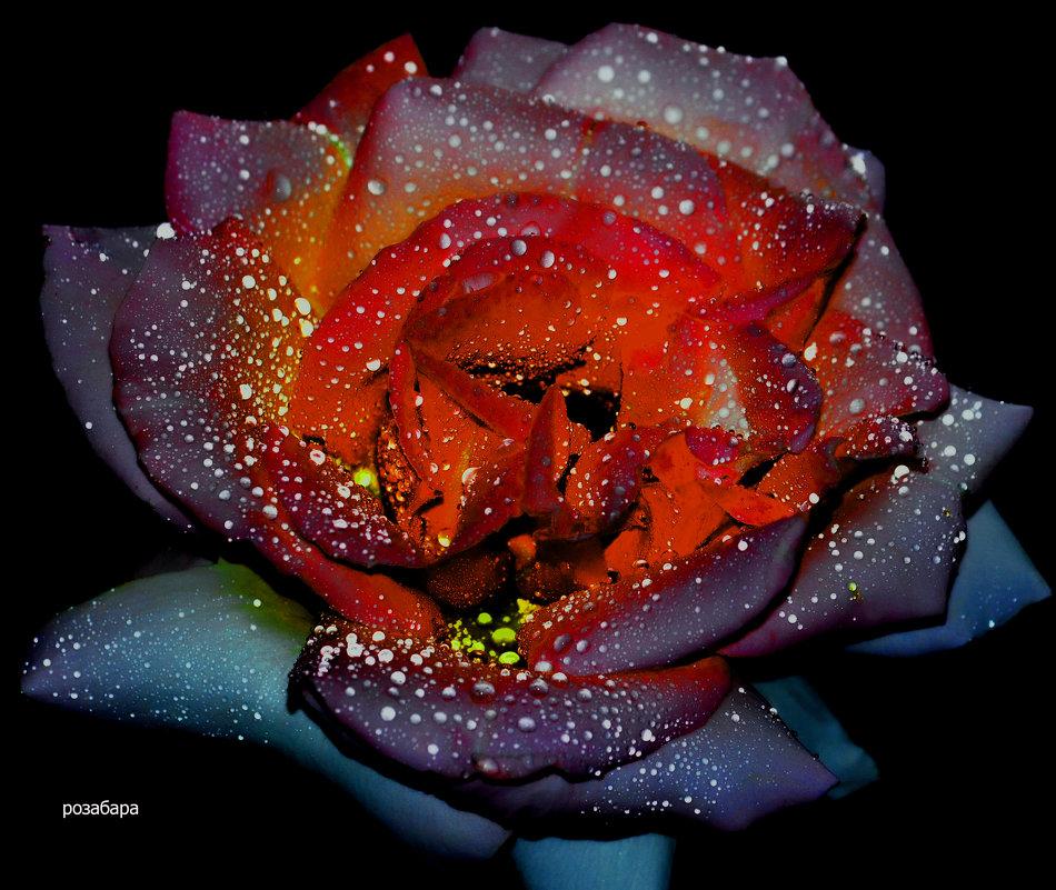 розочка страстная - Роза Бара