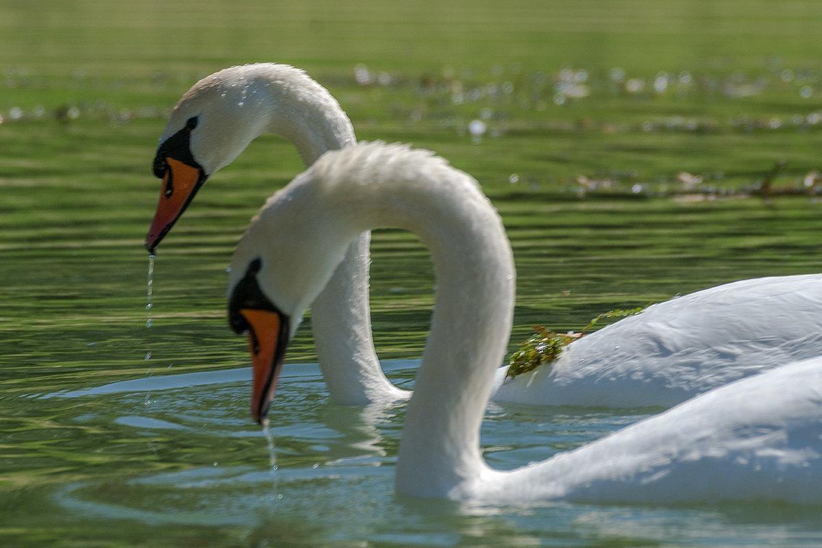 Лебедь, символ красоты - Игорь Сикорский