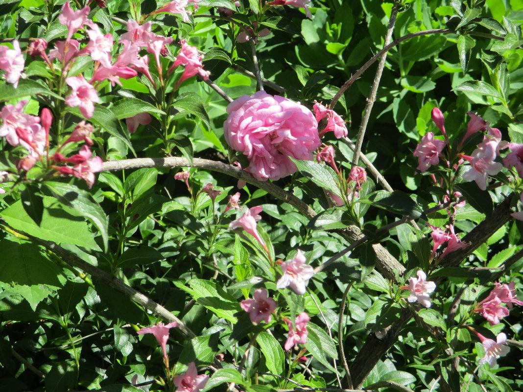 Роза и её розовые фракталы...(фрактальный стиль природы) - Алекс Аро Аро