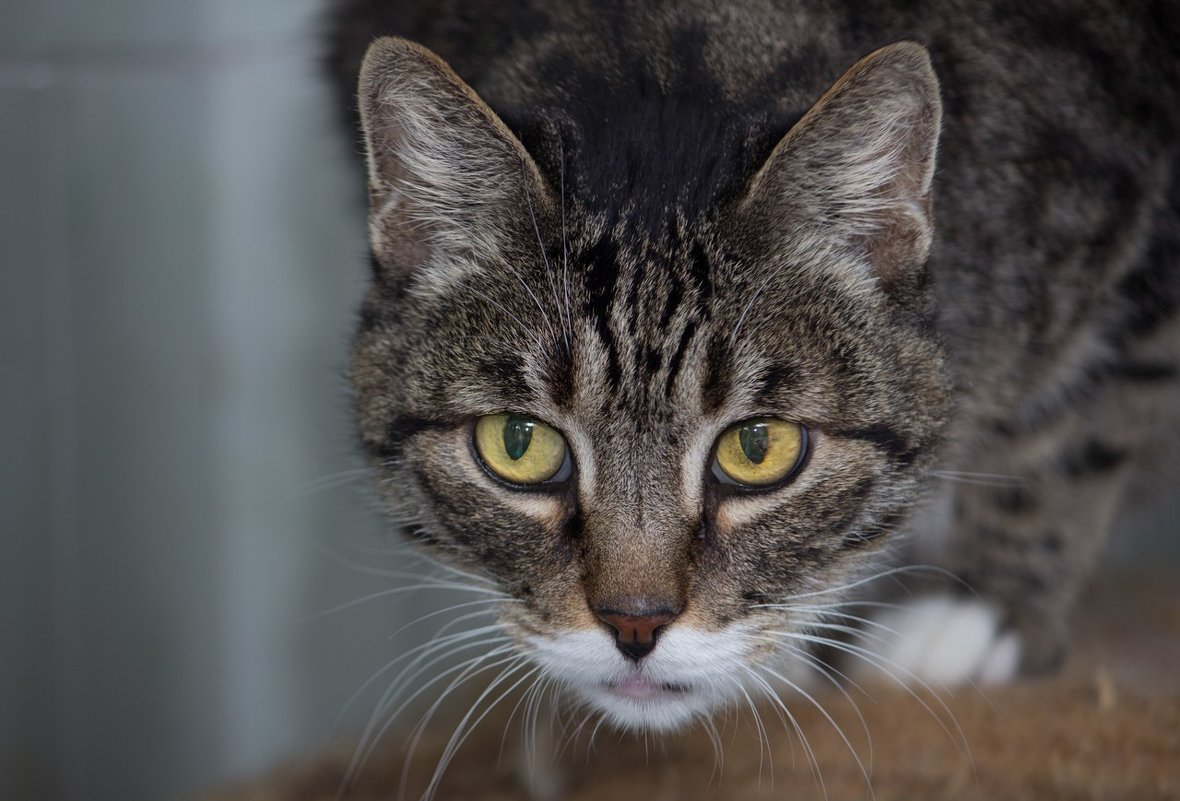 ЛАСКА, Центр помощи кошкам на Сахалине https://vk.com/laskasakhalin.  Дедуля - Margarita Ласковая