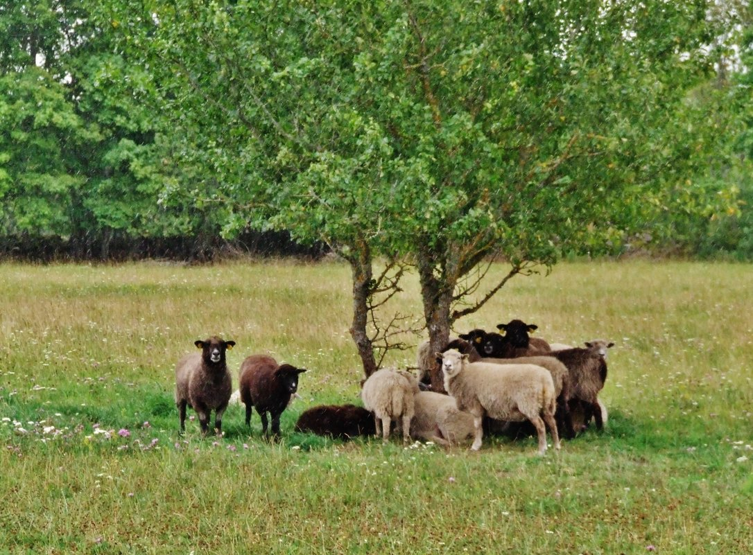 Овцы  во время дождя - Aida10