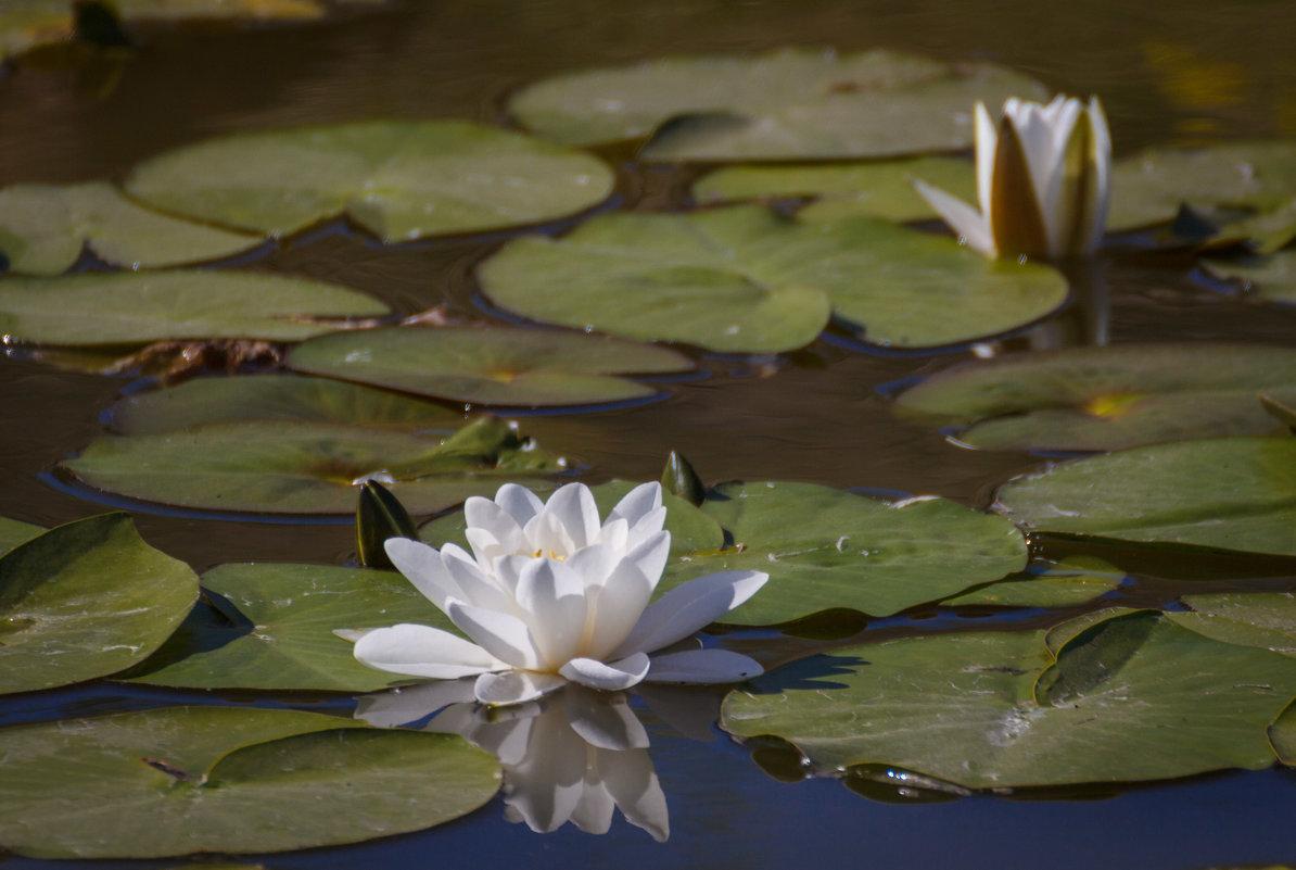 «   Белоснежных кувшинок цветы Распускаются вместе с рассветом….» - Андрей Нибылица