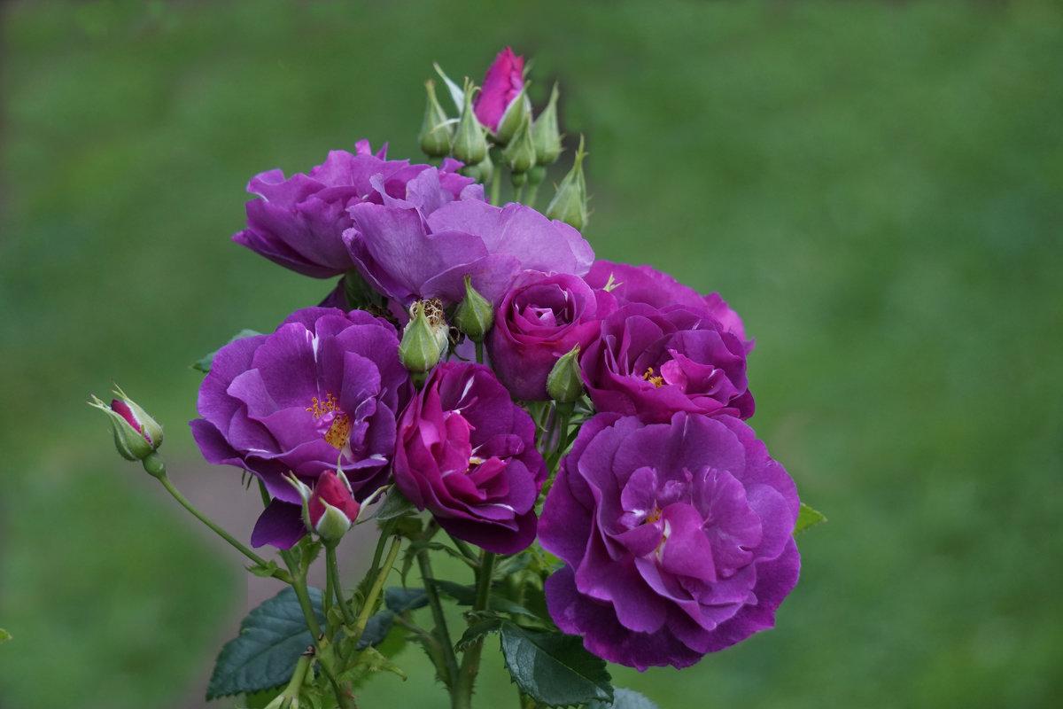 Розы лета - Ольга