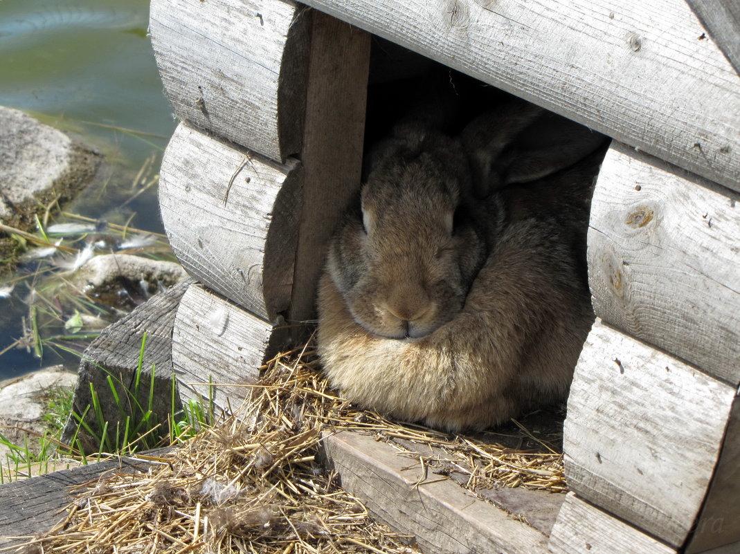 Упитанный кролик) - veera (veerra)