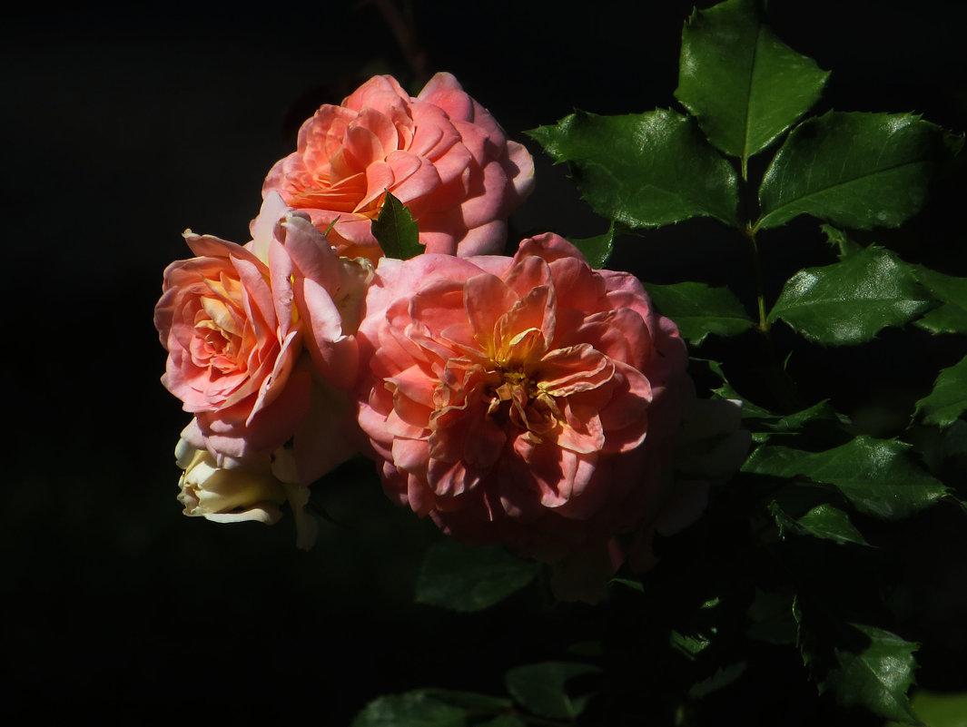 Осенние розы. - Nata