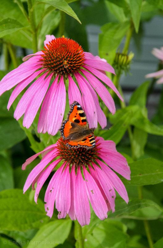 Из жизни бабочек - Елена Митряйкина