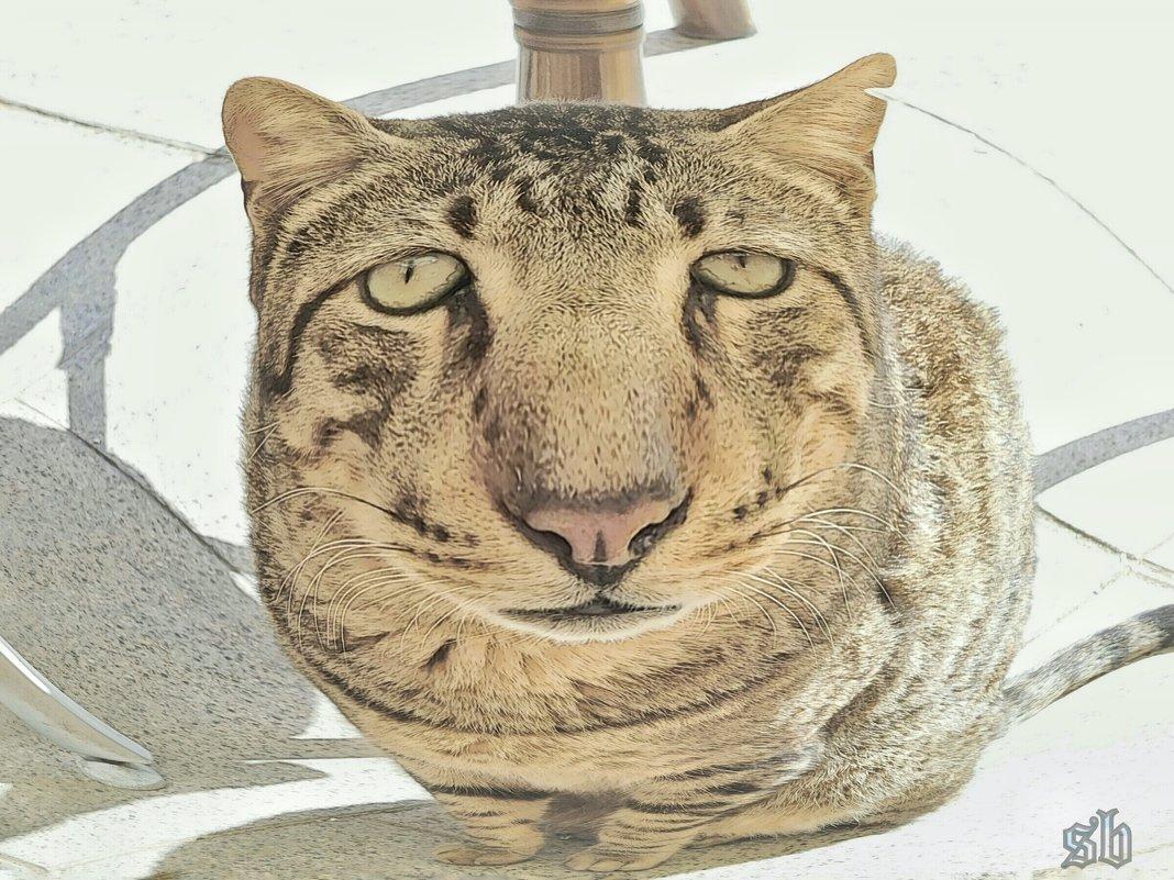 Шарж на кипрских котов