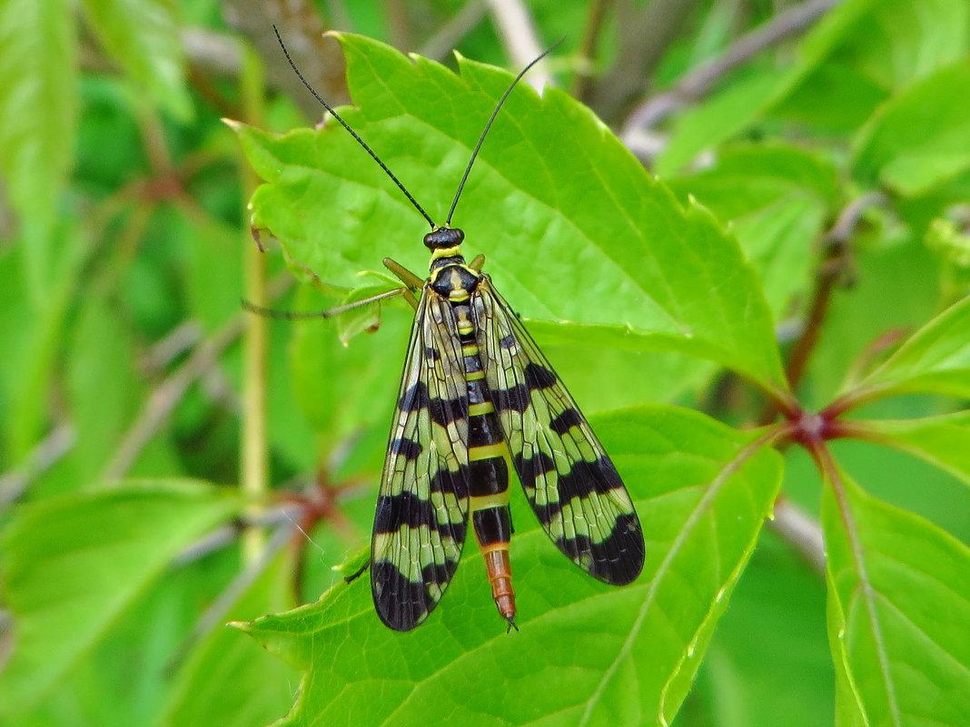 Скорпионница обыкновенная (лат. Panorpa communis) . - vodonos241