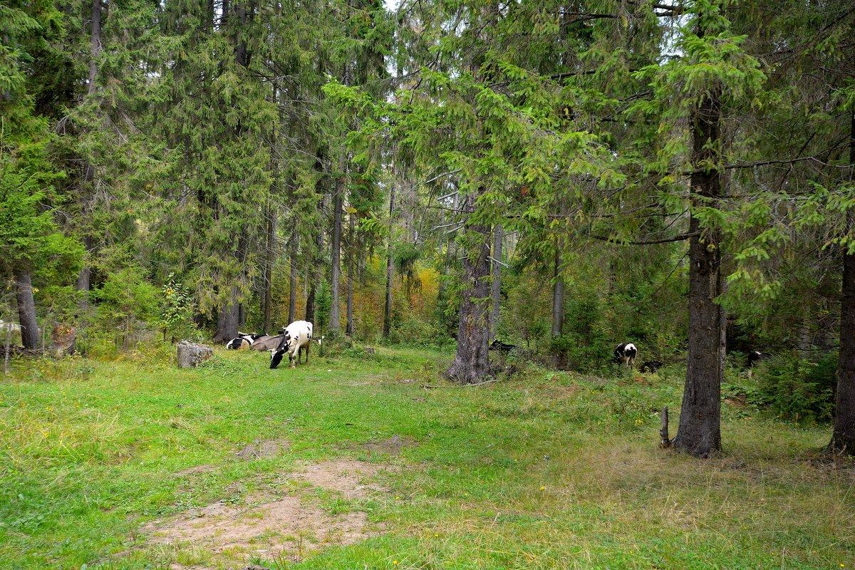 Коровы в лесу. - Александр Зуев