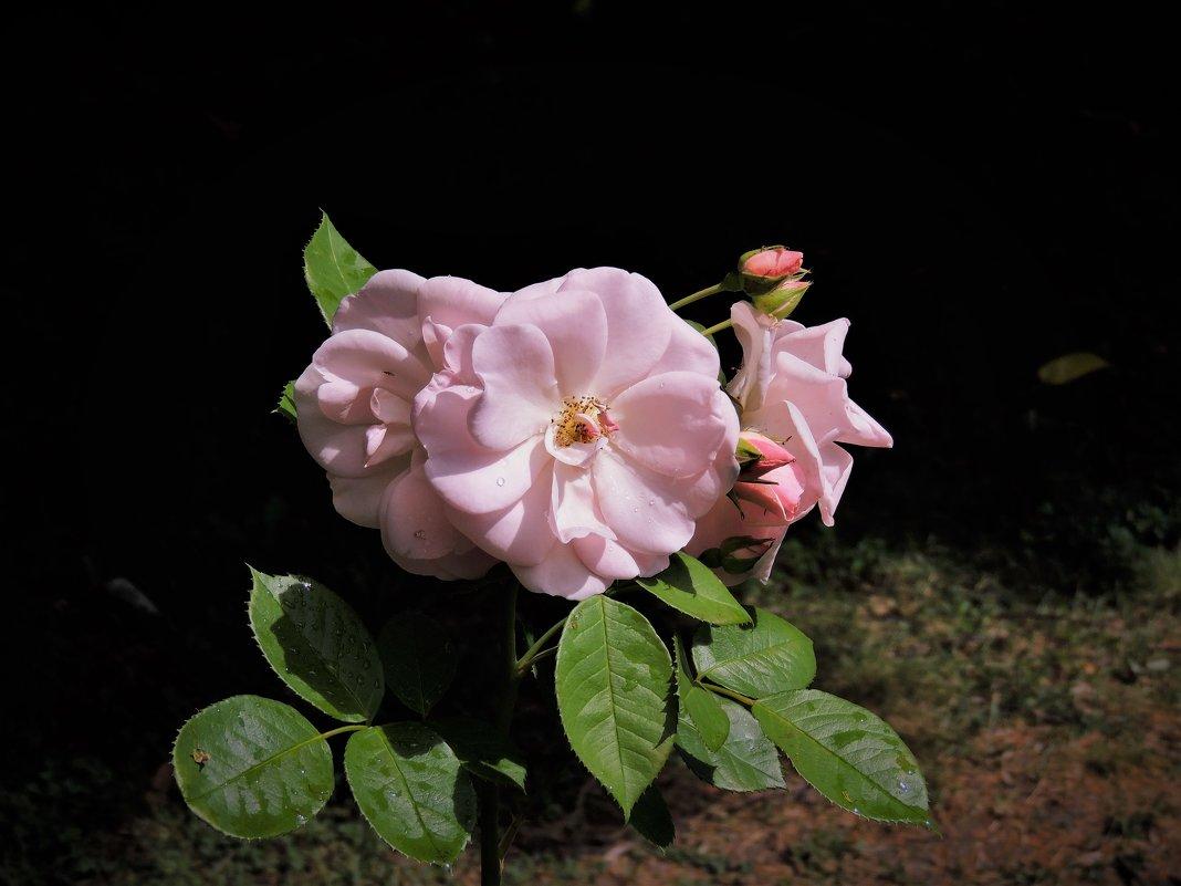 Розы расцветают - Вячеслав Маслов