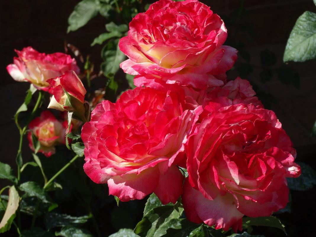 Июнь,утро,розы... - Тамара (st.tamara)